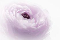 ein hauch in rose` by Cornelia Dettmer