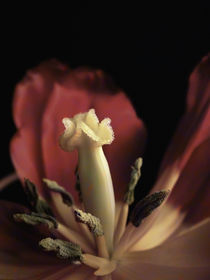 Tulpendetail von pahit