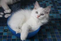 eine Schüssel voll Kätzchen by ragdollkatzen