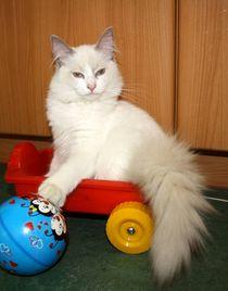Im Wagen fährt Herr Einstein by ragdollkatzen
