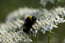 Bee Feeding by George Kay