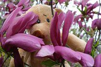 Magnolienbär von Olga Sander