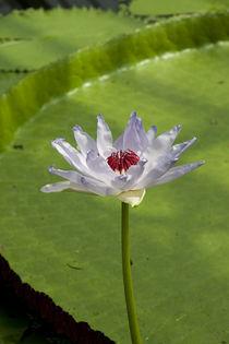 Waterlily by George Kay