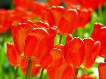 Tulpen1 by Astrid Cordes-Bogatka