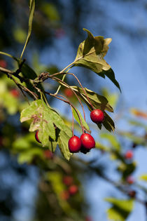 Red Berries by George Kay