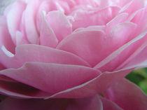 Pink Dream by Astrid Cordes-Bogatka