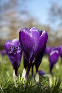 Purple crocus by George Kay