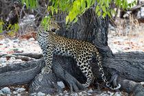 Leoparden küsst man nicht von Jürgen Klust
