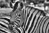 Etosha-Zebra by Jürgen Klust