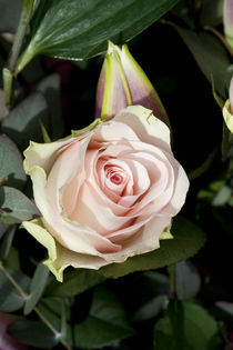 Rose von George Kay