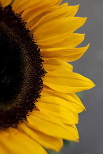 Sunflower by George Kay