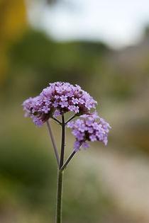 Verbena bonariensis von George Kay
