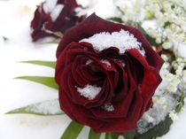 Rote Rose by honeymoons