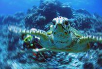 Caretta - Meeresschildkröte mit Taucher von tonykaplan