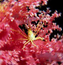 Krabbe in rosa Koralle von tonykaplan