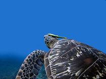 Schildkröte mit Putzerfisch von qarts