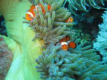Nemo - Clownfisch-Familie by qarts