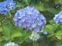 Blaue Hortensien von Marion Akkoyun