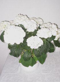 Weisse Hortensien von Marion Akkoyun