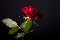 Rose by Norbert Fenske