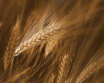 Getreide im Wind von Elke Balzen