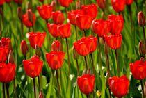 Rote Tulpen by Elke Balzen