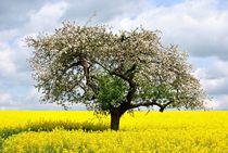 Apfelbaum im Rapsfeld by Elke Balzen