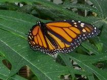Schmetterling auf einem Blatt von malitia
