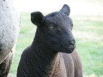 Schwarzes Schaf von malitia