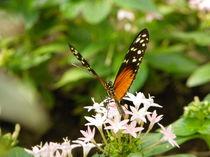 Schmetterling auf einem Blüte von malitia
