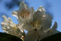 White Rhododendron by objectart