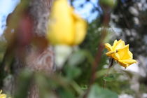 Gelbe Rose by sterne5i