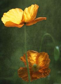 Leuchtmohn by Franziska Rullert