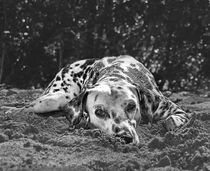 The Dalmatian by Christian Archibold