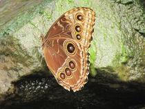 Trinkender Schmetterling by Matthias Winkelmann