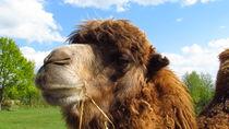 Kamel by Matthias Winkelmann