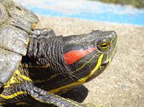 Rotwangenschmuckschildkröte by Matthias Winkelmann