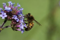 Bee Feeding von George Kay