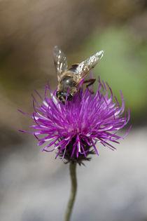 Biene beim Naschen von Christian Wohlgemuth