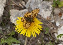 Schmetterling auf Löwenzahn by Christian Wohlgemuth