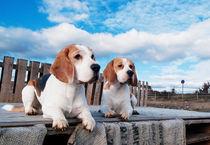 Beagels-Hundefotografie- von miekephotographie