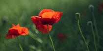 Mohnblumen der Liebe by mohnblumen