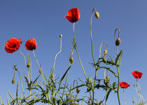 Love Mohn by mohnblumen