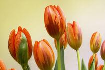Tulpenblüten von Ingrid Clement-Grimmer