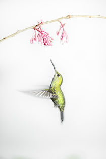 'Green-crowned brilliant hummingbird' by Gregory Basco