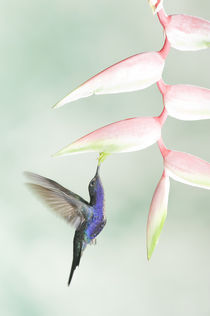 Violet sabrewing hummingbird by Gregory Basco