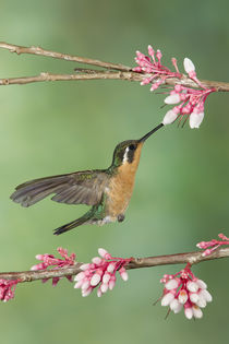 'Purple-throated mountain gem hummingbird' by Gregory Basco
