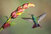 Green-breasted mango hummingbird von Gregory Basco