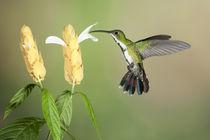 Green-breasted mango hummingbird by Gregory Basco