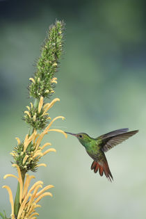 Rufous-tailed hummingbird by Gregory Basco